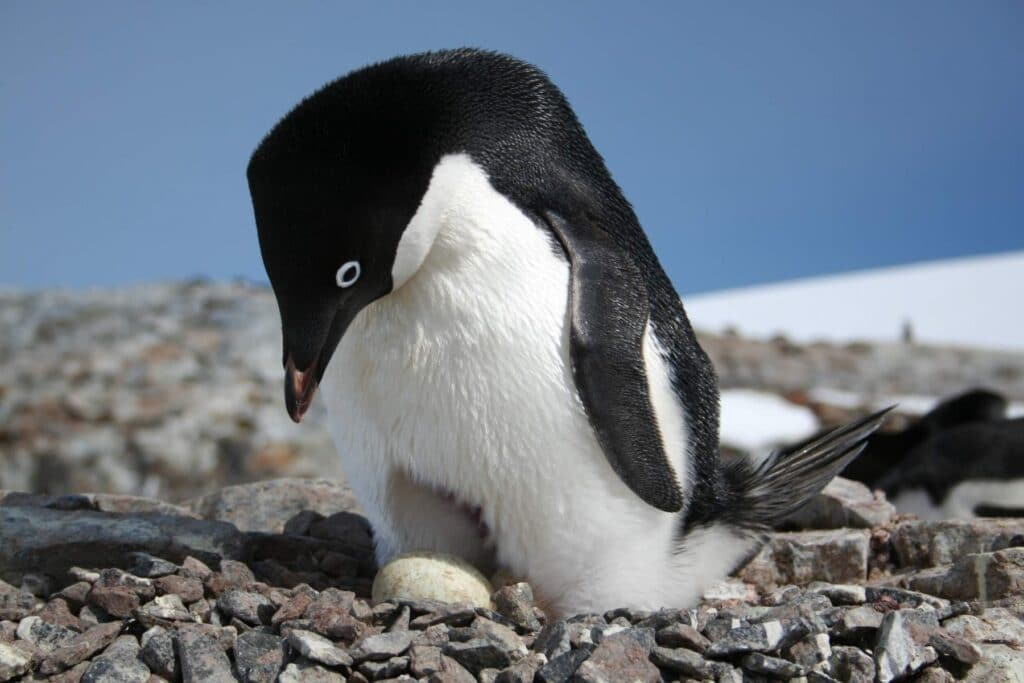 Adelie Penguins were one of four Antarctic-dependent species studied © Heather Lynch