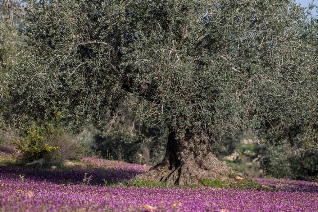 Ancient Olive Orchards in Palestine © Ahmad Al Omari