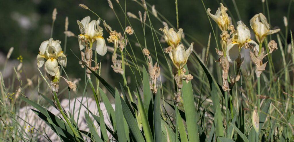 The rare endemic Orjen Iris © Mihailo Jovićević