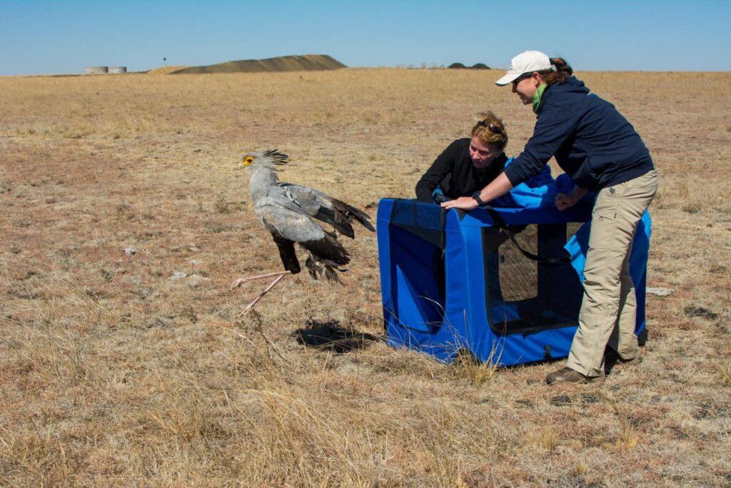 Melissa Howes-Whitecross releases a tagged Secretarybird © Caroline Howes