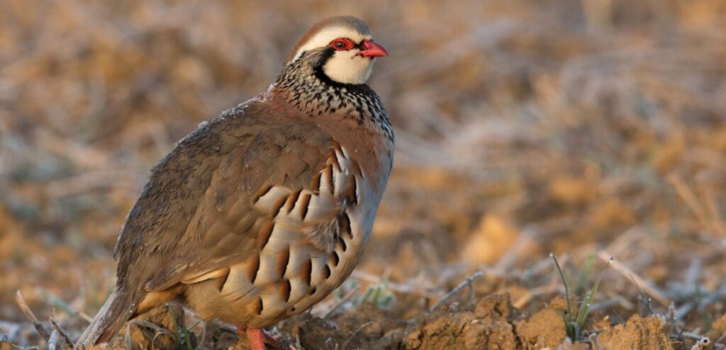 Red-legged Partridge is now Near Threatened due to over-hunting & habitat loss © Pierre Dalous
