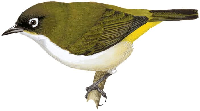 The Tagula White-eye has been assessed as Near Threatened just in time © HBW